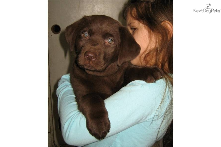 Labrador Retriever puppy for sale near Hampton Roads ...
