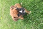 Picture of Andy full AKC registered fawn boxer boy