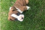 Picture of Allister full AKC tiger striped brindle boxer boy