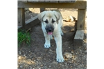 Anatolian Shepherd Puppies for Sale from Reputable Dog ...