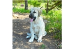 Picture of an Anatolian Shepherd Puppy