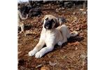 Picture of AKC- DUCHESS