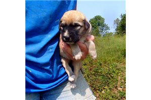 AKC Emmy | Puppy at 7 weeks of age for sale