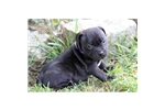 Picture of a Staffordshire Bull Terrier Puppy