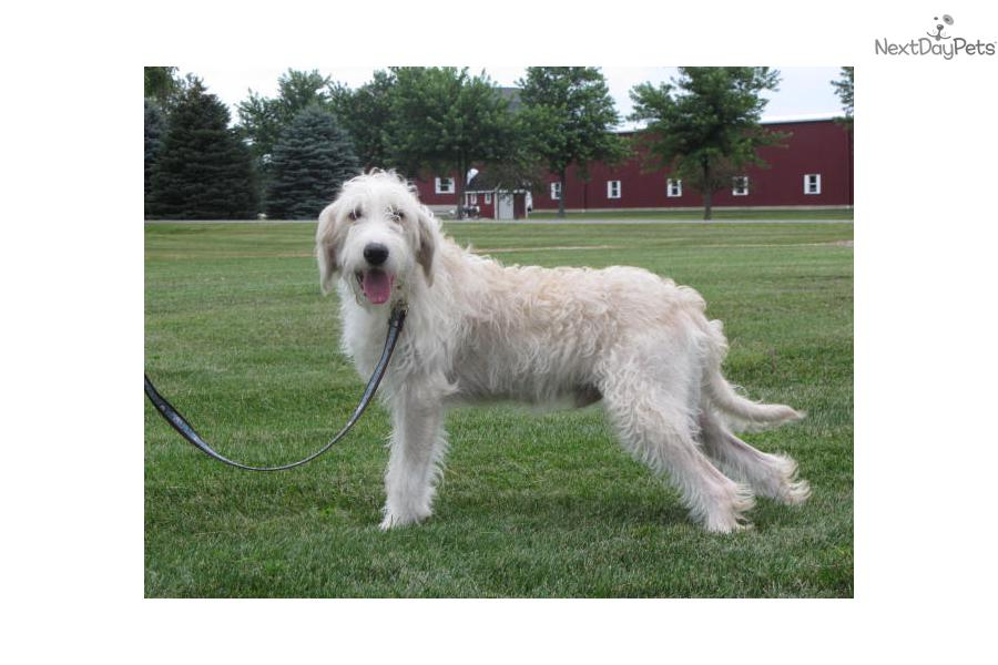 Labradoodle For Sale For 400 Near Toledo Ohio 744a8c9d 91c1