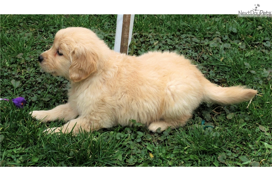 golden retriever puppies for sale in illinois golden retriever puppy for sale near chicago illinois 3207