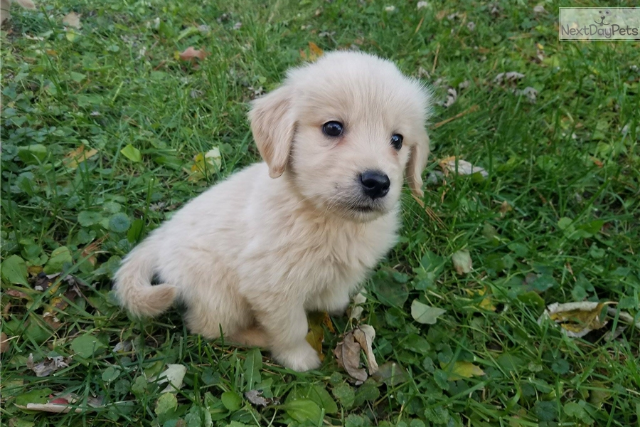 golden retriever puppies for sale in illinois golden retriever puppy for sale near chicago illinois 1260