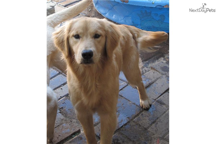golden retriever puppies for sale in illinois golden retriever puppy for sale near chicago illinois 6737