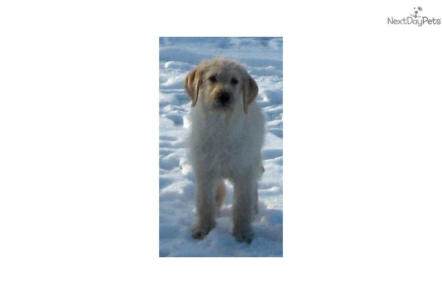 Marco: Labradoodle puppy for sale near Pierre / Central SD, South ...