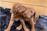 Chesapeake Bay Retriever for sale