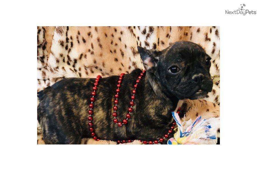 Apollo French Bulldo: French Bulldog puppy for sale near ...
