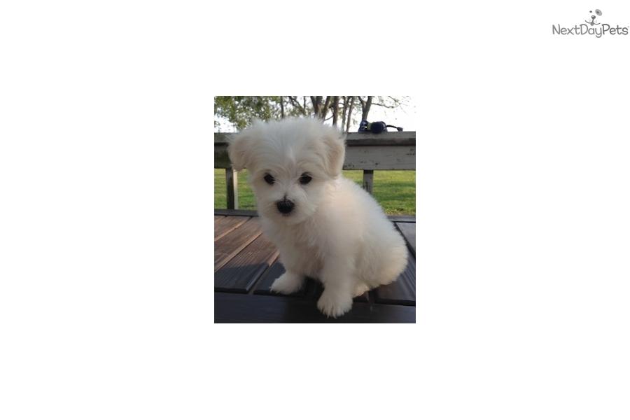Rafiki Maltese Puppy For Sale Near New York City New York