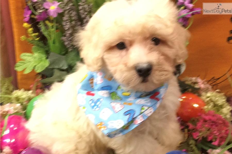 Marahute Malti Poo Maltipoo Puppy For Sale Near New York City