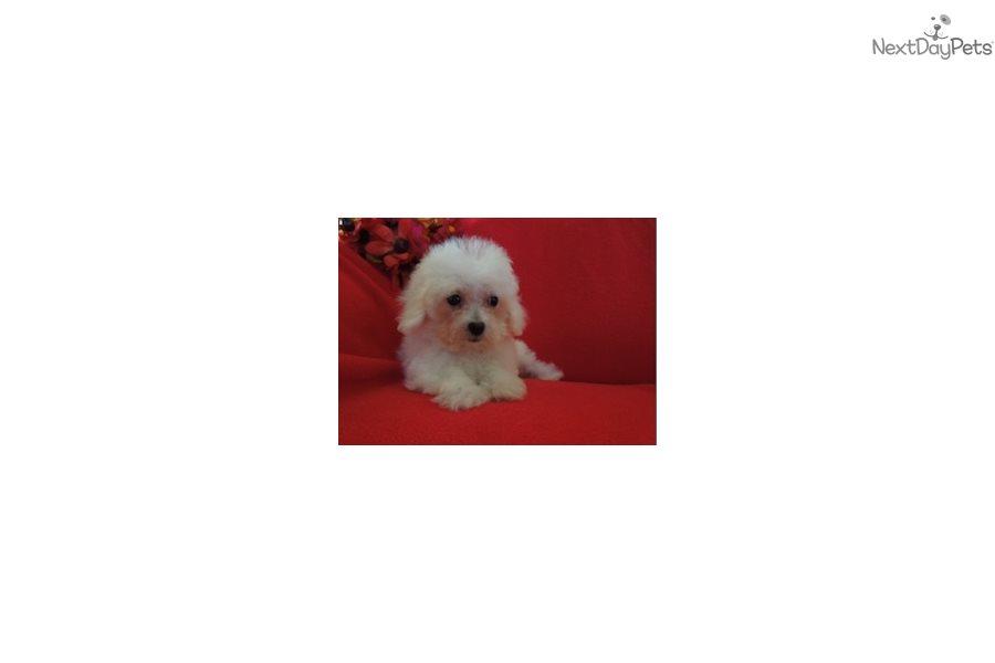Belle Malti Poo Maltipoo Puppy For Sale Near New York City New
