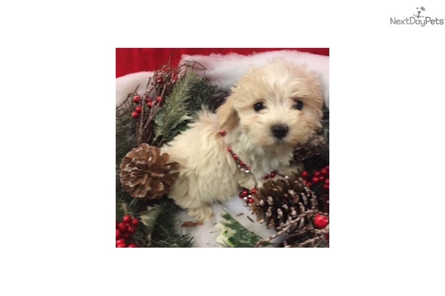 Snow White Malti Poo Maltipoo Puppy For Sale Near New York City