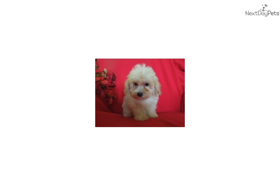 Bolt Malti Poo Maltipoo Puppy For Sale Near New York City New