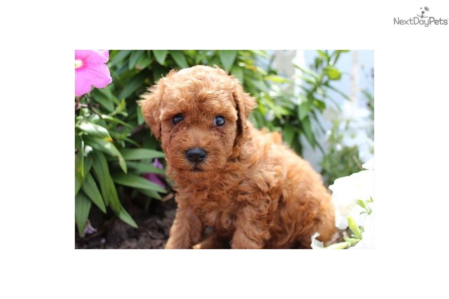 Nala Cute Poodle For: Poodle, Toy puppy for sale near New