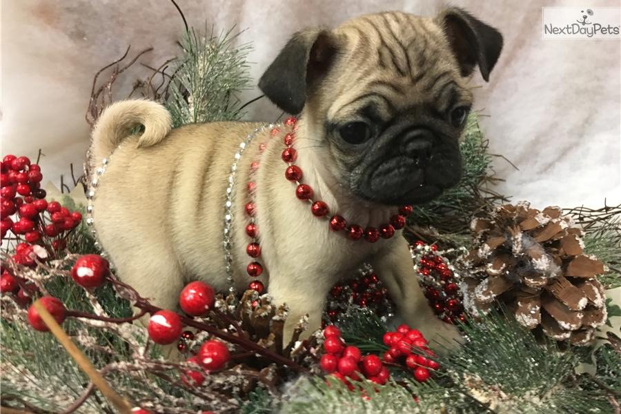 Danke Pug Puppy For Sale Near New York City New York B3066ebb 55b1