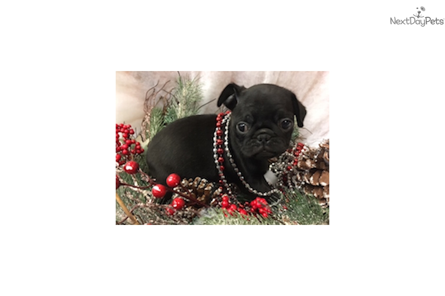 Dash Pug Puppy For Sale Near New York City New York 9741ded0 7691