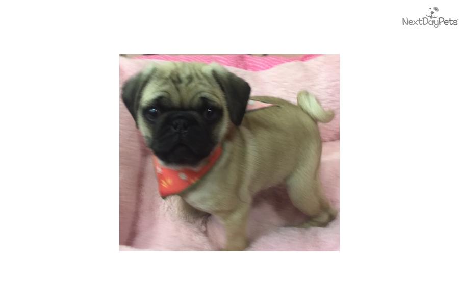 Minnie Pug Puppy For Sale Near New York City New York D6bbf482 9791