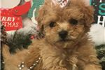 Picture of Ariel Cute Bichonpoo Puppy for Sale in Queens NY