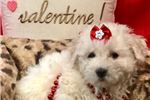 Picture of Nala Cute Bichon Frise Puppy for Sale in Queens NY