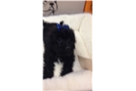 Picture of Zipper Cute Cairoodlr Puppy for Sale in Queens NY