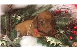 Picture of Huey Cute Dachshund Puppy for Sale in Queens NY
