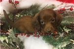 Picture of Duey Cute Dachshund Puppy for Sale in Queens NY