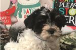 Picture of Dixie Cute Havanese Puppy for Sale in Queens NY
