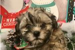 Picture of Copper Cute Havanese Puppy for Sale in Queens NY