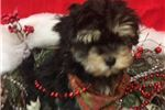 Picture of Louie is a cute Havapoo Puppy for Sale NY Queens