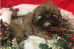 Picture of Anna is a cute Lhasa Apso for Sale NY Queens