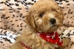 Picture of Mufasa Cute Lhasapoor for sale Bayside Flushing Qu