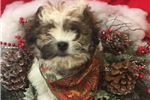 Picture of Olaf is a cute Japachon Puppy for Sale NY Queens