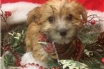 Picture of Ariel is a cute Morkie Puppy for Sale NY Queens