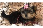 Picture of Belle Cute Morkie Puppy for sale Bayside Flushing