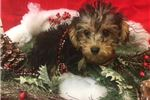 Picture of Naveen is a cute Morkie Puppy for Sale NY Queens
