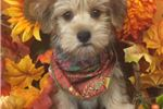 Picture of Dale is a cute Morkie Puppy for Sale NY Queens