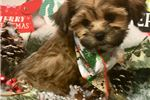 Picture of Einstein Cute Morkirpoo Puppy for Sale in Queens N