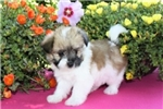 Picture of Nemo is a cute Paptese Puppy for Sale NY
