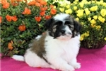 Picture of Olaf is a cute Paptese Puppy for Sale NY
