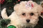 Picture of Baylene Cute Pekepoo Puppy for Sale in Queens NY