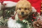 Picture of Aladar is a cute Pekepoo Puppy for Sale NY Queens