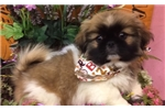 Picture of Ace is a cute Pekingese for Sale NY Queens