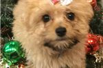 Picture of Jasmine Cute Pomapoo Puppy for Sale in Queens NY