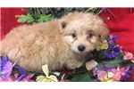 Picture of Banzai Cute Pomapoo Puppy for Sale in Queens NY
