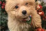 Picture of Aladdin Cute Pomapoo Puppy for Sale in Queens NY