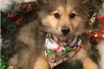 Picture of Kenai Cute Pomeranian Puppy for Sale in Queens NY