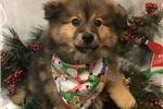 Picture of Denahi Cute Pomeranian Puppy for Sale in Queens NY
